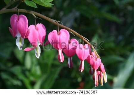 Spring flower pink bleeding hearts on bending branch