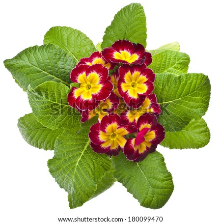 Spring flower primrose primula  in flowerpot close up macro isolated on white - stock photo