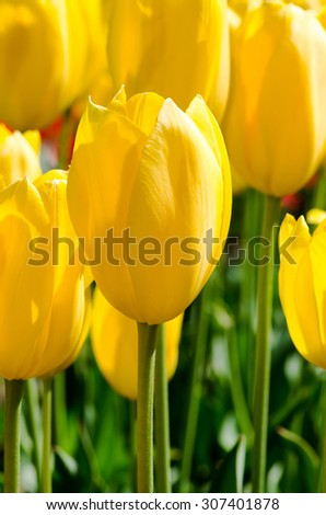 Spring flower sbright tulips, macro - stock photo