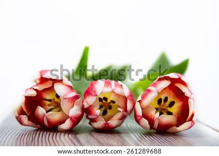 spring flower, tree red tulip - stock photo