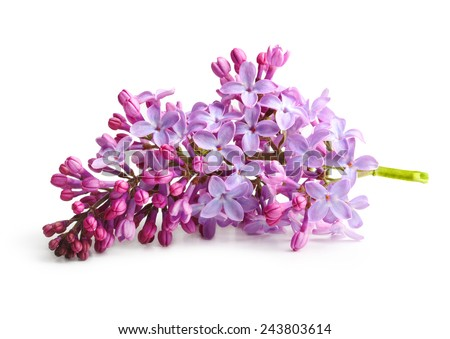 Spring flower, twig purple lilac. Syringa vulgaris. - stock photo