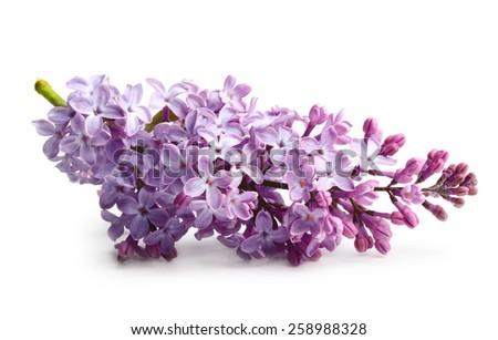 Spring flower twig purple lilac. Syringa vulgaris. - stock photo