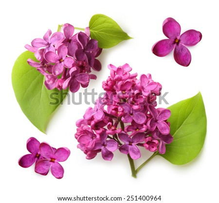 Spring flower, twig purple lilac with leaf. Syringa vulgaris. - stock photo