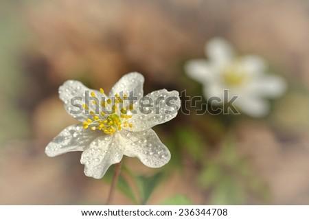 Spring flower wood anemone - anemone nemorosa - stock photo
