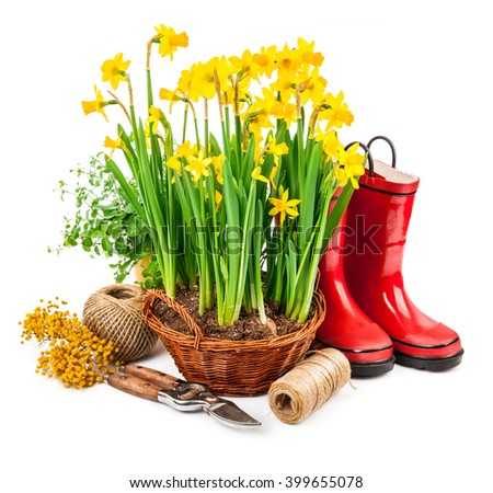 Spring flower yellow narcissus in wicker basket from garden tools and red boots. Isolated on white background - stock photo