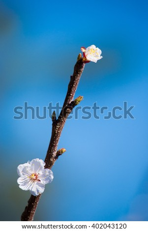 Spring Flowering branch on background blue sky. Cherry Blossom. Apricot tree flower with buds blooming at sptingtime. White flowers on tree branch, bright blue sky.  Bee gathering pollen - stock photo