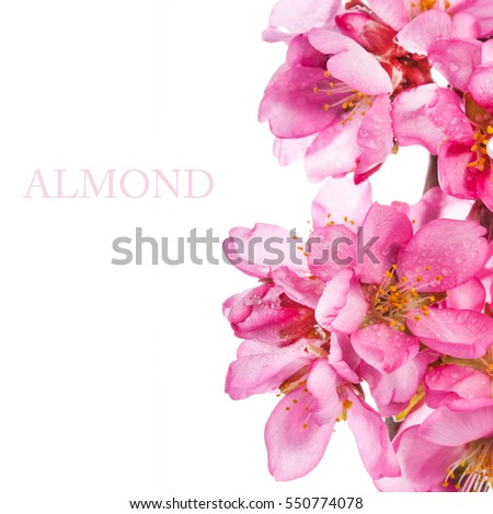 Spring flowering branches, pink flowers, no leaves, blossoms Almond  isolated on white background