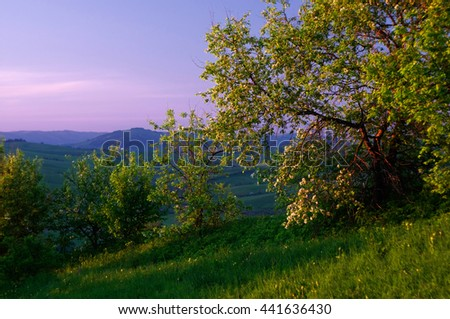 Spring flowering bush on the hill side with green grass and flowers on a background of purple sunset sky.  Altai Mountains, Siberia, Russia. - stock photo