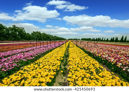 Spring flowering buttercups. Israeli kibbutz in the south. The magnificent flower carpet of colorful garden of buttercups close to the border