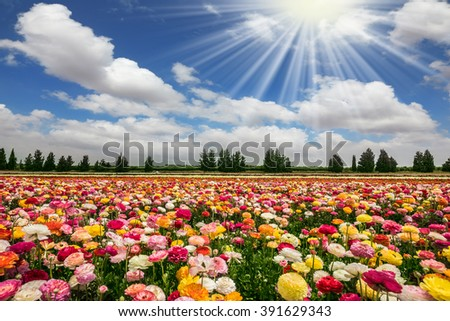 Spring flowering buttercups. The sun's rays shine from cumulus clouds. Flower kibbutz near Gaza