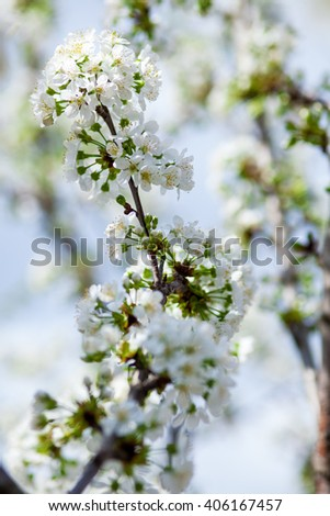 Spring flowering cherry on a background of blue sky