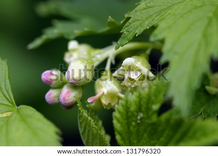 Spring flowering of black currant in the garden - stock photo