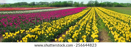 Spring-flowering time beautiful garden flowers, tulips, fiery colors that glow in the fields on the background of the surrounding countryside, and pleasing look, and bring a good profit owners.