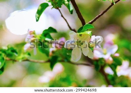 Spring flowering. Tree branch with a blossoming white flowers close-up. Shallow depth of field. Selective focus. - stock photo