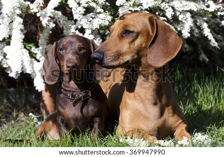 spring flowers and a tvo dachshund on a background of the garden - stock photo