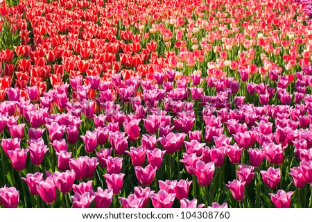 Spring flowers bloom field tulips stock photo edit now 104308760 spring flowers bloom field of tulips mightylinksfo