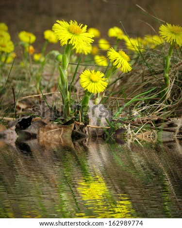 Spring flowers - Coltsfoot - Tussilago farfara by water - stock photo