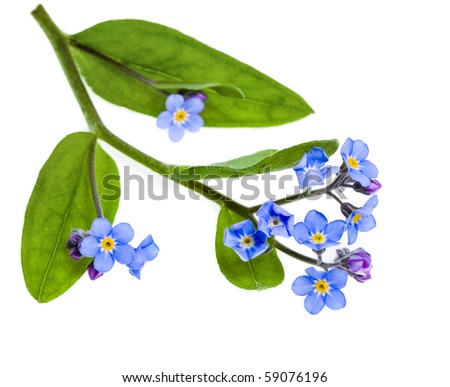 Spring flowers. Field Forget-me-not (Myosotis arvensis) isolated on white background.  - stock photo