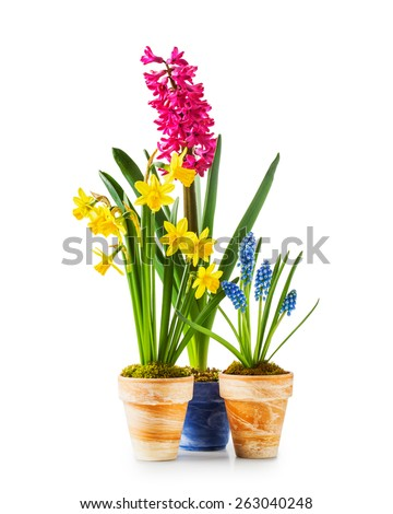 Spring flowers. Flowerpots with daffodil, hyacinth, muscari isolated on white background - stock photo