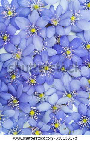 spring flowers Hepatica nobilis on a white background - stock photo