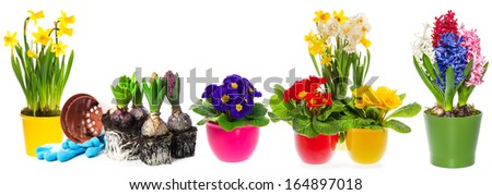 spring flowers hyacinth, narcissus and primroses on white background. gardening concept - stock photo