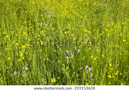 Spring flowers in Centennial Valley, Lakeview, MT - stock photo