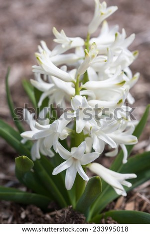 Spring flowers in full bloom growing in a bed of wood chips. - stock photo