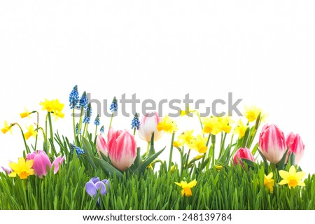 Spring flowers in green grass isolated on white background - stock photo
