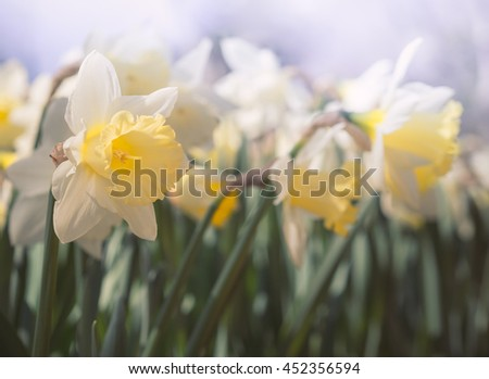 Spring flowers in the garden - daffodils on blurred background. Yellow and white Narcissus close-up in soft focus with bokeh effect. Floral festival in April. - stock photo