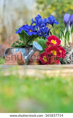 spring flowers in the ground garden - stock photo
