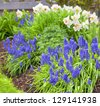 Spring flowers in the home garden. Grape hyacinth and daffodils. - stock photo