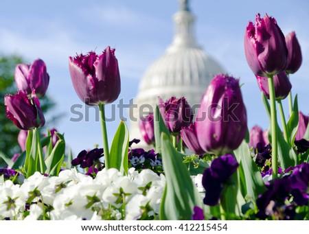 Spring flowers in Washington DC - stock photo