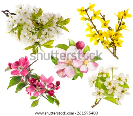 Spring flowers isolated on white background. Blossoms of apple and pear tree, cherry twig - stock photo