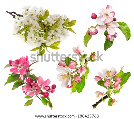 spring flowers isolated on white background. blossoms of apple tree, cherry twig - stock photo