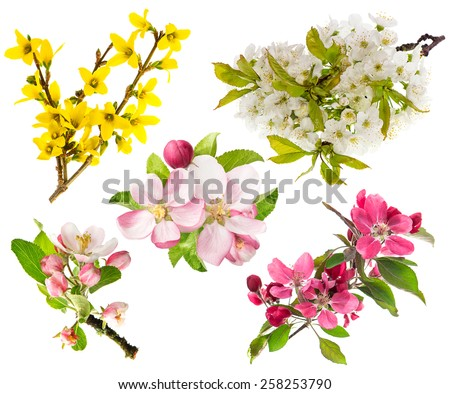 Spring flowers isolated on white background. Blossoms of apple tree, cherry twig, forsythia. - stock photo