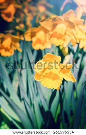 Spring flowers. Macro of yellow daffodil
