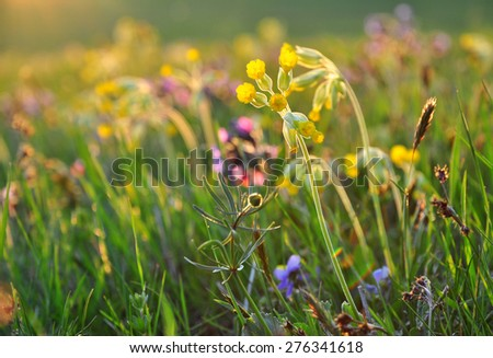 Spring flowers, meadow, primrose primula - stock photo