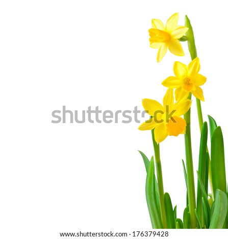 Spring flowers narcissus isolated on white background. - stock photo