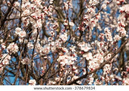 spring flowers of apricot