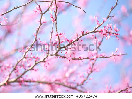 Spring Flowers. Purple Cercis Canadensis or Eastern Redbud Blossom