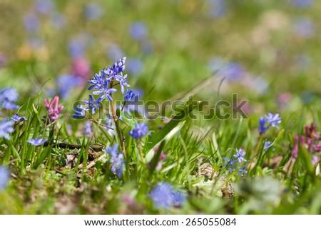 Spring flowers Scilla bifolia on the green grass - stock photo