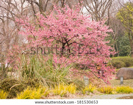 Spring flowers series, Beautiful Cherry blossom , pink sakura flowers and trees