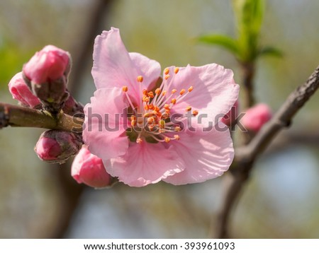 Spring flowers series: beautiful pink peach flowers with nature blurred background.