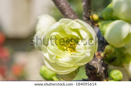 Spring flowers series, light green flowers on the branches flowering chaenomeles speciosa (chinese quince flowers ) - stock photo