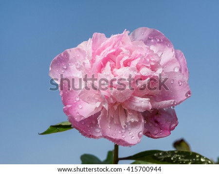 Spring flowers series, pink Chinese herbaceous peony with blue sky background. - stock photo