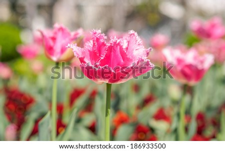 Spring flowers series, pink tulips with jaggy petals against strong sun shine, very charming transparent petals