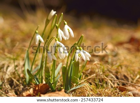 Spring flowers, snowdrops - stock photo