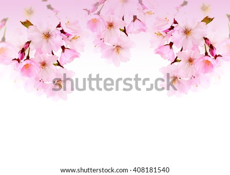 Spring flowers. Spring flowers - pink chery branch. Spring flowers isolated on white background. Card with spring flowers. Spring flowers on white mit copy space. Spring flowers border.  - stock photo