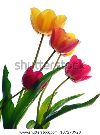 spring flowers. Tulips  - stock photo