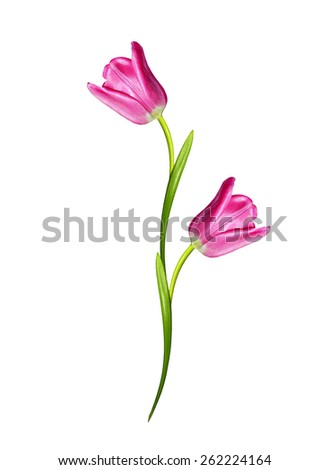 spring flowers tulips isolated on white background - stock photo